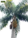 Syagrus romanzoffiana sp. Santa Catarina - total height 40+ cm - pot 0.7 ltr _
