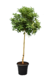 Citrus Kumquat - total height 120-140 cm - pot Ø 28 cm_