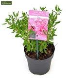 Kalmia angustifolia Rubra - total height 30+ cm - pot Ø 15_