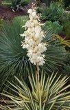 Yucca gloriosa Variegata - total height 60-70 cm - pot Ø 26 cm_