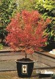 Acer palmatum Wilson's Pink Dwarf - total height 50-70 cm - pot 3 ltr_
