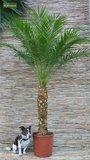 Phoenix roebelenii - trunk 25-35 cm - total height 120-140 cm - Ø 27 cm pot_