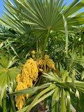 Trachycarpus fortunei - trunk 20 cm - total height 90-120 cm - pot Ø 25 cm_