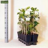 Citrus aurantifolia Lime Verde - pot 2 ltr_