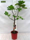 Ficus carica Brown Turkey - trunk 60-80 cm - Ø 28 cm pot_