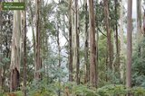 Eucalyptus gunnii Azura - total height 60+ cm - pot 5 ltr_