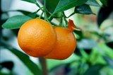 Citrus mitis Calamondine - trunk 30-40 cm - total height 70-100 cm - pot Ø 22 cm_