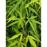 Acer palmatum Koto-no-ito
