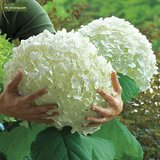 Hydrangea arborescens Strong Annabelle 3 ltr_