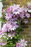 Clematis Nelly Moser - 2 Ltr pot_