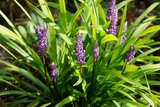 Liriope muscari Moneymaker - total height 30-40 cm - pot 2 ltr_