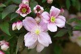 Clematis montana 'Mayleen' - 2 Ltr pot_