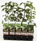Passiflora edulis 2 ltr_