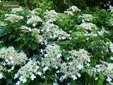 Hydrangea anomala var. petiolaris 2 ltr_