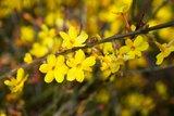 Jasminum nudiflorum 2 ltr_
