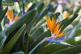 Strelitzia reginae - total height 80-100 cm - pot Ø 26 cm - 2 plants/pot_