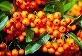 Pyracantha Orange Glow - total height 60-80 cm - pot 2 ltr_