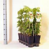 Humulus lupulus - total height 20-40 cm - pot 2 ltr_