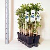 Vaccinium corymbosum Goldtraube - total height 70-90 cm - pot 2 ltr_