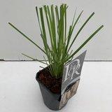 Cortaderia selloana - pot 1 ltr_