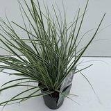 Carex Everest - pot 1 ltr