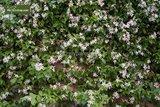 Trachelospermum jasminoides 3 ltr_