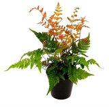 Dryopteris erythrosora - pot 1,7 ltr_