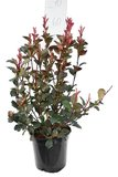Photinia fraseri Red Robin - total height 50-70 cm - pot Ø 18 cm_
