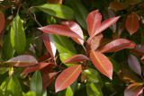 Photinia fraseri Red Robin - totale hoogte 50-70 cm - pot Ø 18 cm_
