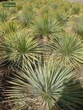 Yucca rostrata - total height 70-90 cm - pot 26 cm_