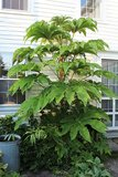 Tetrapanax papyrifera Steroidal Giant - total height 20+ cm - pot 11 cm_