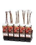 Rubus idaeus Malling Promise - total height 50-70 cm - pot 2 ltr_