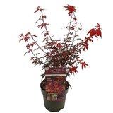 Acer palmatum Skeeters broom - total height 60-80 - top 3 ltr_