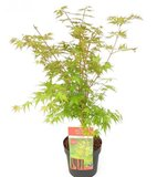 Acer palmatum Sangokaku - total height 90-110 cm - pot 7.5 ltr_