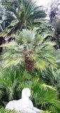Chamaerops humilis - trunk 10-20 cm - total height 80-100 cm - pot Ø 32 cm_