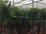 Trachycarpus fortunei - trunk 40-50 cm - total height 150-170 cm - pot Ø 36 cm_