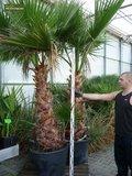 Washingtonia robusta - trunk 40+ cm - total height 160-180 cm - pot 40 Ø cm [pallet] _