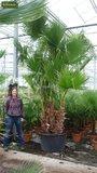 Washingtonia robusta Multitrunk - total height 140+ cm - pot Ø 35cm_