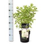 Hydrangea paniculata Little Lime - total height 30-40 cm - pot 3 ltr_