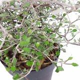Maori Green leaf - total height 30-40 cm - pot Ø 10 cm_