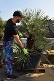 Chamaerops humilis Cerifera - trunk 60+ cm - total height 170+ cm - pot Ø 80 cm [pallet]_