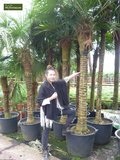 Trachycarpus fortunei - trunk 20-25 cm - total height 120-140 cm - pot Ø 30 cm_