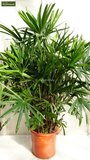 Rhapis excelsa Multitrunk - total height 100-120 cm - pot Ø 30 cm_
