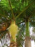Roystonea regia - total height 300+ cm - pot Ø 45 cm_