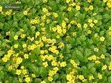 Waldsteinia ternata - pot Ø 11 cm_