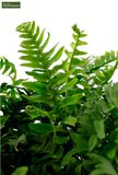 Polypodium vulgare 0.7 ltr_