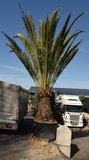 Phoenix canariensis - trunk 140-160 cm - total height 300+ cm - pot 600 ltr [pallet]_
