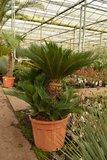 Cycas revoluta - trunk 40-60 cm - total height 140-160 cm - pot Ø 60 cm [pallet]_