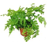 Asplenium bulbiferum - pot 1,7 ltr_