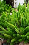 Asparagus meyeri - pot 17 cm_